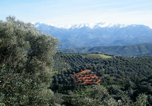 Crete walks: Olive groves with snow covered White mountains