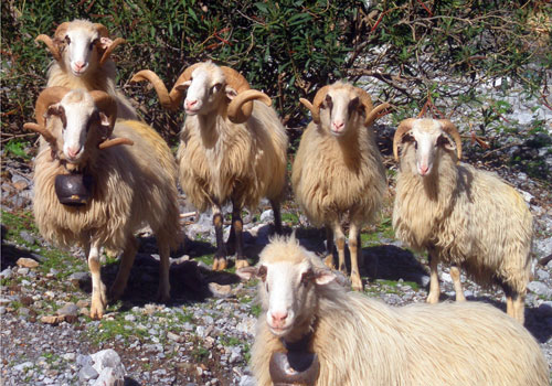 Crete walks: Proud cretan sheep